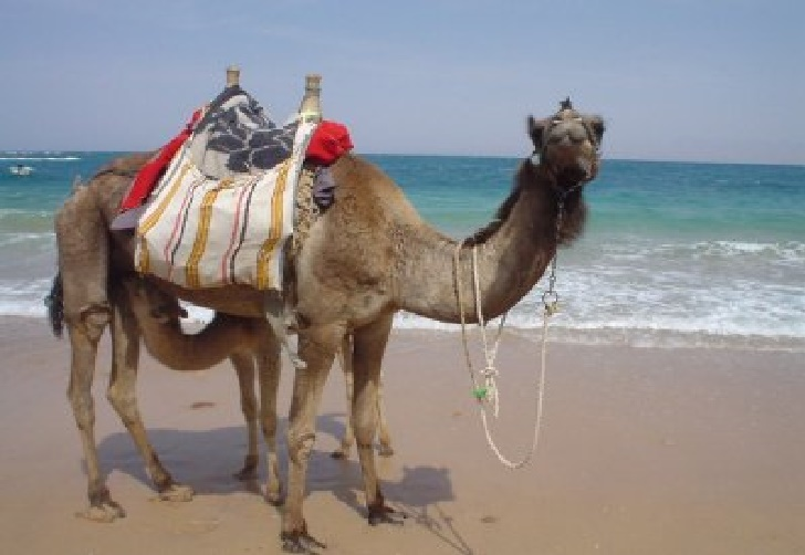 Arabian Camel (Dromedary) |  the Desert Ship